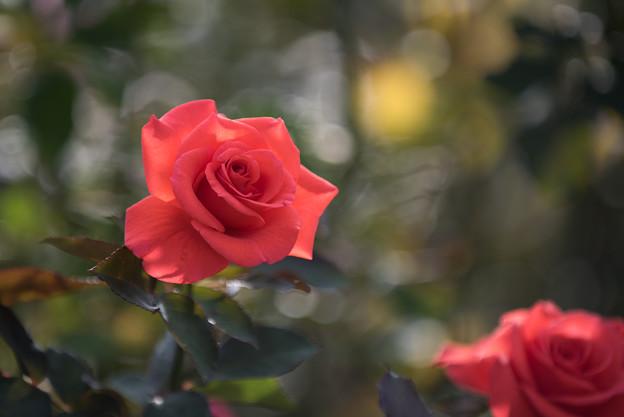 【京成バラ園(薔薇:レディ・ローズ)】1