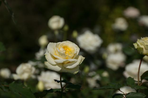 【京成バラ園(薔薇:快挙)】2