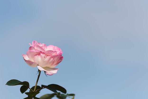 【京成バラ園(薔薇:プリンセス・ドゥ・モナコ)】