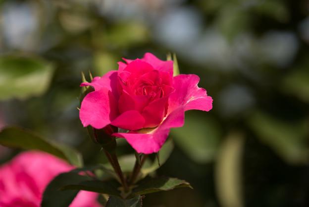 【京成バラ園(薔薇:うらら)】