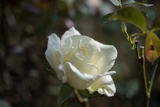 【京成バラ園(薔薇:ホワイト・マスターピース)】