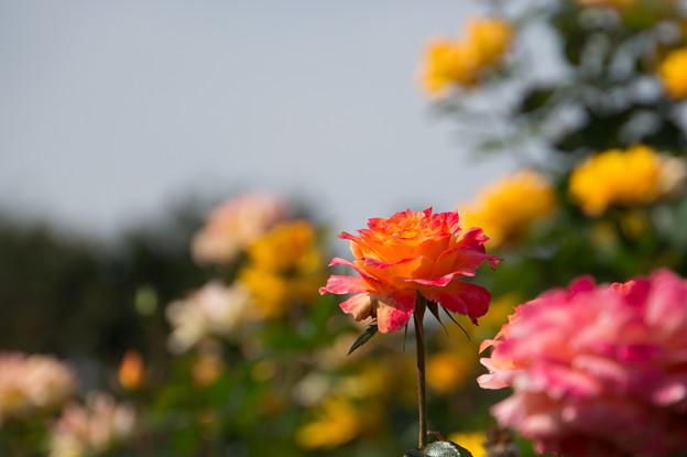 【京成バラ園(薔薇:ピュア・ポエトリー)】1
