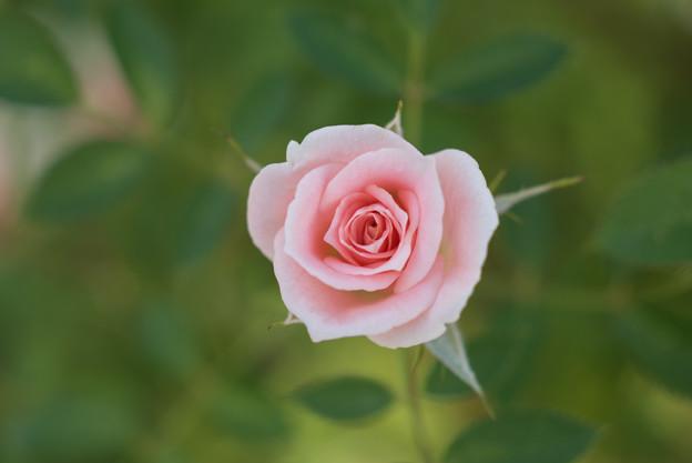 【京成バラ園(薔薇:小夜曲)】