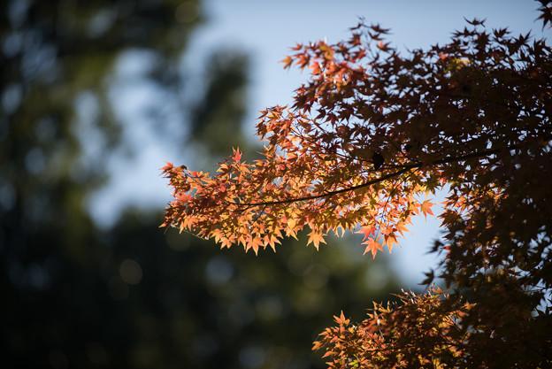 赤っぽい紅葉は、まだ、まばらです。