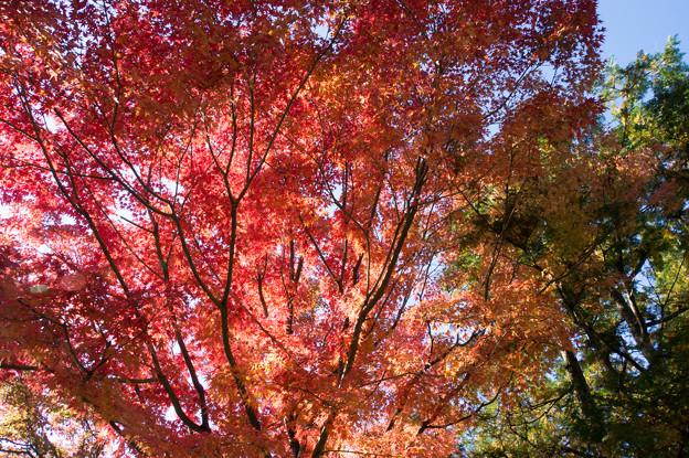 日本庭園の紅葉(3_5)