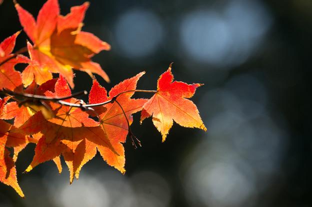 日本庭園の紅葉(4_2)
