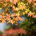 日本庭園の黄葉(5_3)