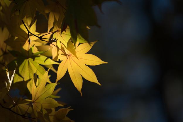 日本庭園の黄葉(5_5)