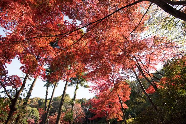 薬師池公園【モミジの真っ赤な場所】2