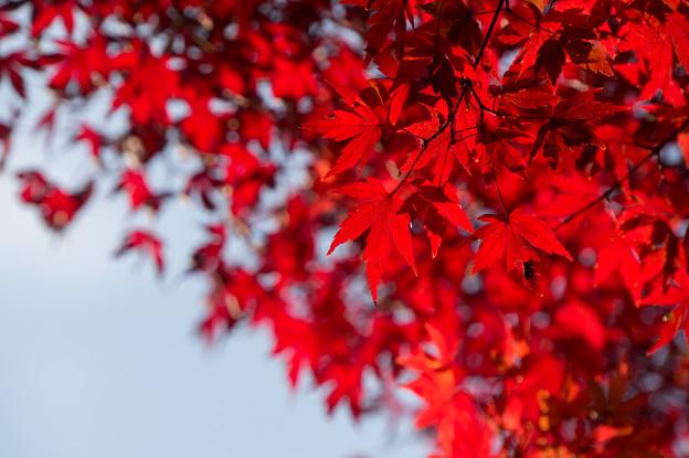【近所の緑道の紅葉】8