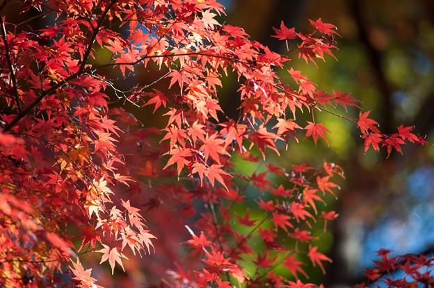 小石川後楽園【深山紅葉を楽しむ】2_3