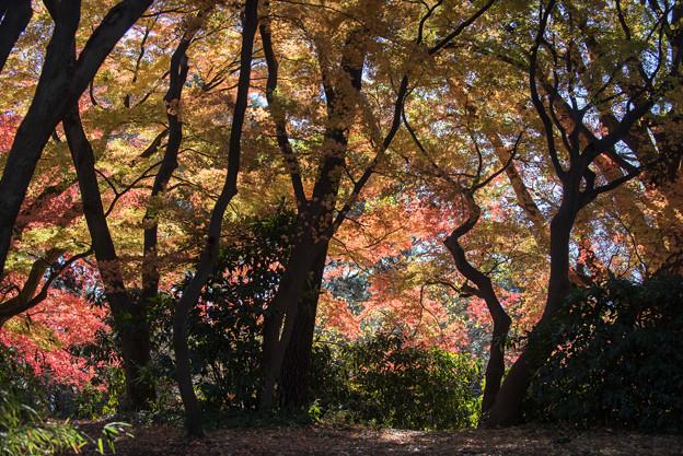 新宿御苑【モミジ山の紅葉】1_4