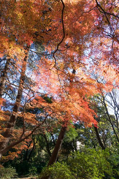新宿御苑【モミジ山の紅葉】1_5