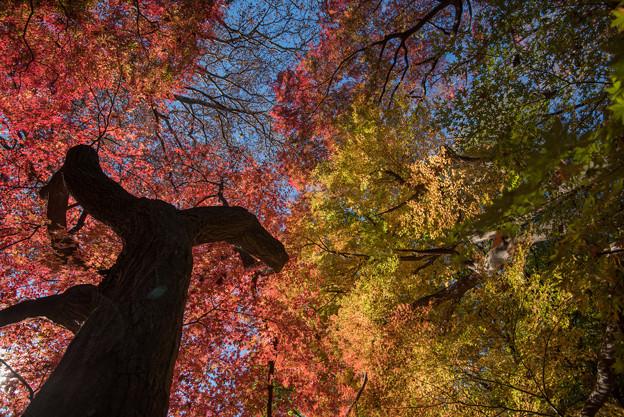 新宿御苑【モミジ山の紅葉】2_4