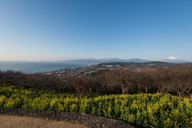 吾妻山公園【相模湾と富士山と菜の花】