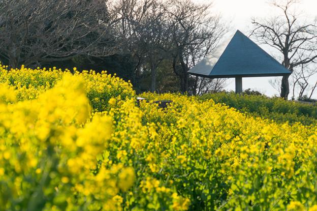 吾妻山公園【満開の菜の花】1