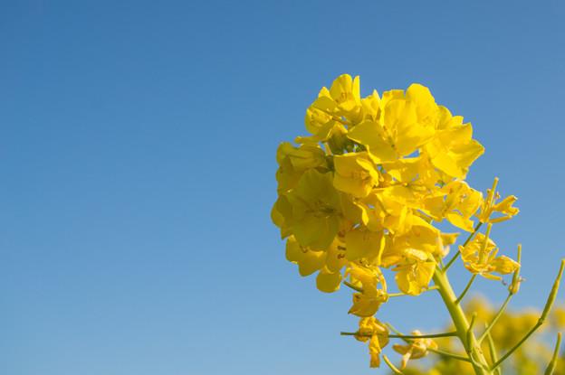 吾妻山公園【菜の花のアップ】2