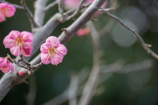 大船植物園【梅:一重寒紅】4