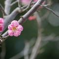 Photos: 大船植物園【梅:一重寒紅】4