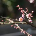 Photos: 大船植物園【梅:内裏】1