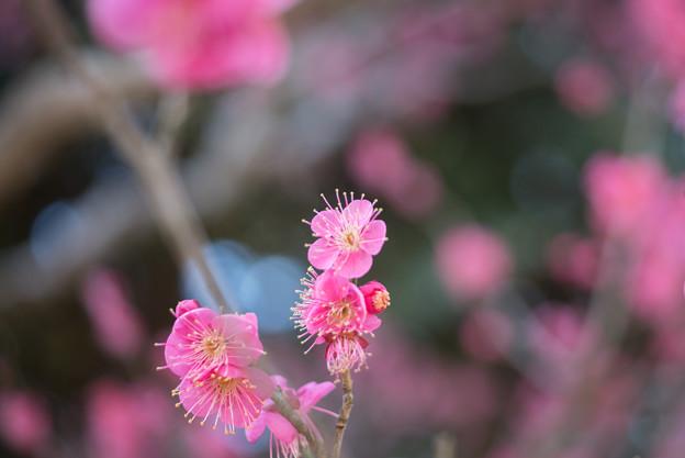 大船植物園【梅:大盃】4