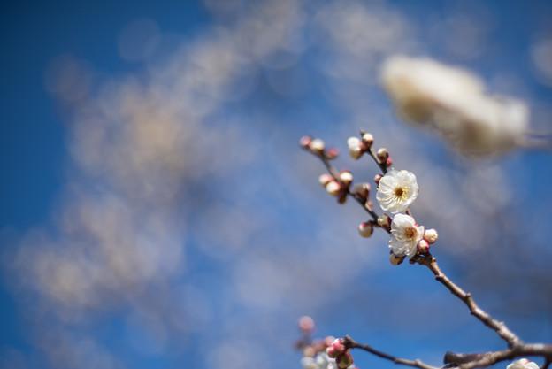 神代植物公園【梅:白難波】3