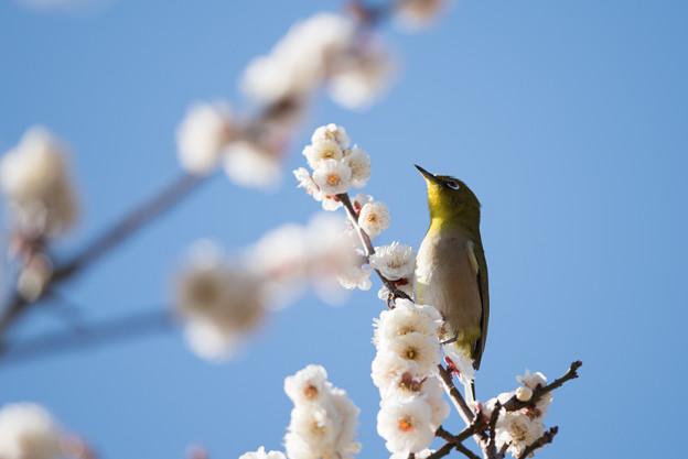小田原フラワーガーデン【梅の花とメジロ】6
