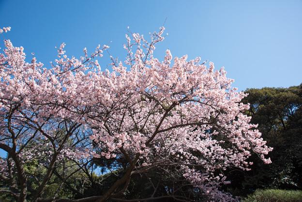 新宿御苑【寒桜】1