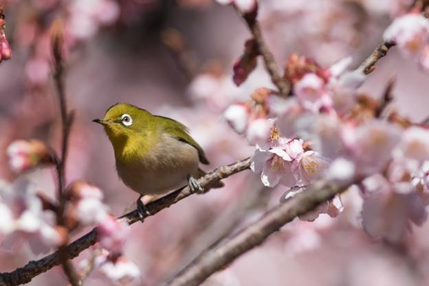 新宿御苑【寒桜とメジロ】1