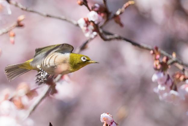 新宿御苑【寒桜とメジロ】5
