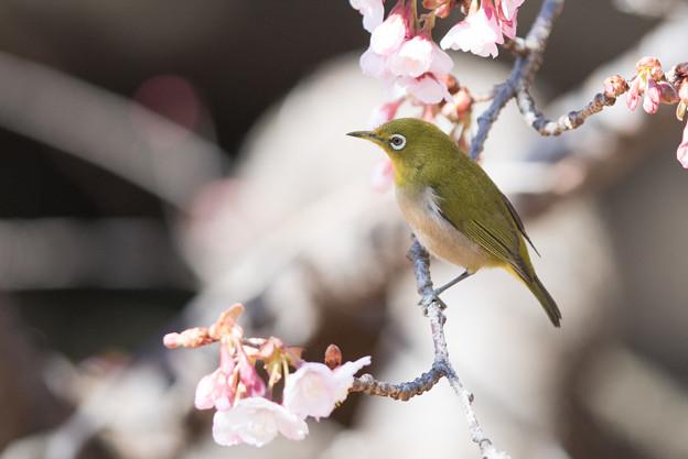 新宿御苑【寒桜とメジロ】8
