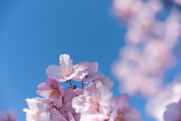 松田山【河津桜】5