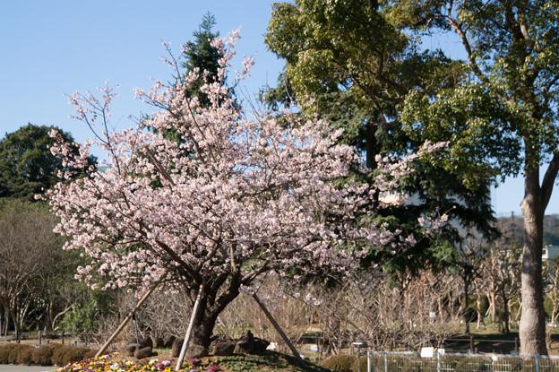 大船植物園【入口そばの玉縄桜】1
