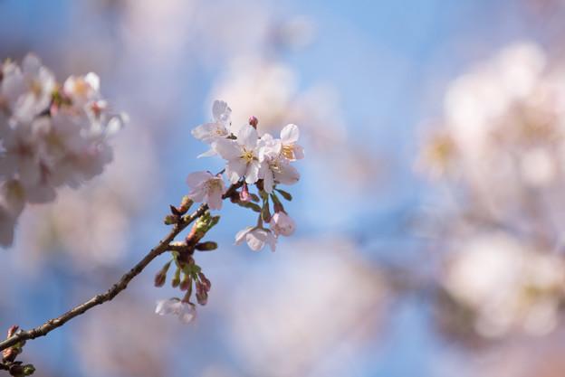 大船植物園【玉縄桜の大木】4
