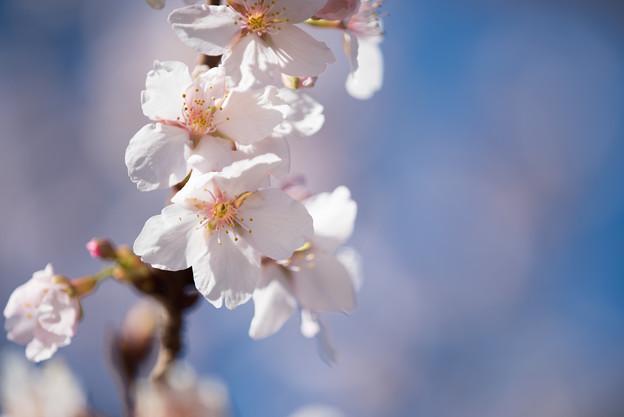 大船植物園【玉縄桜の大木】5