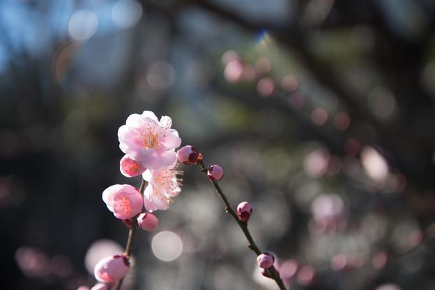 大船植物園【梅の花:見驚】