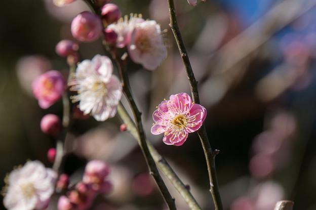 大船植物園【梅の花:思いの儘】2