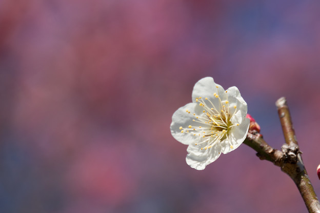 薬師池公園【梅の花のピックアップ】1