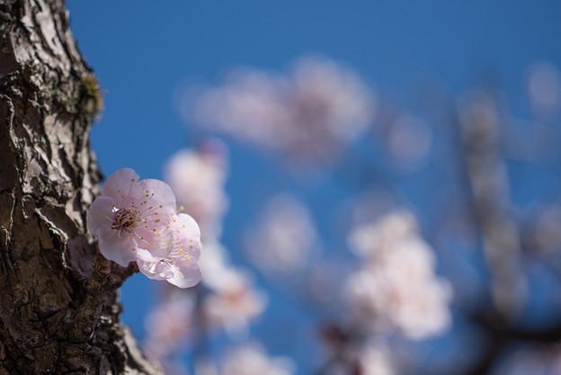 薬師池公園【梅の花のピックアップ】2