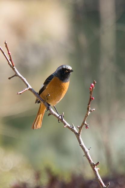 薬師池公園【薬師池の鳥:ジョウビタキ】1