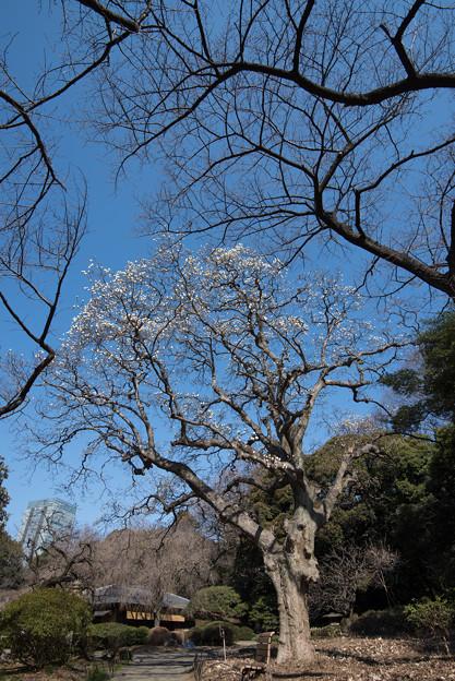 新宿御苑【音羽亭付近のハクモクレンの巨木】1
