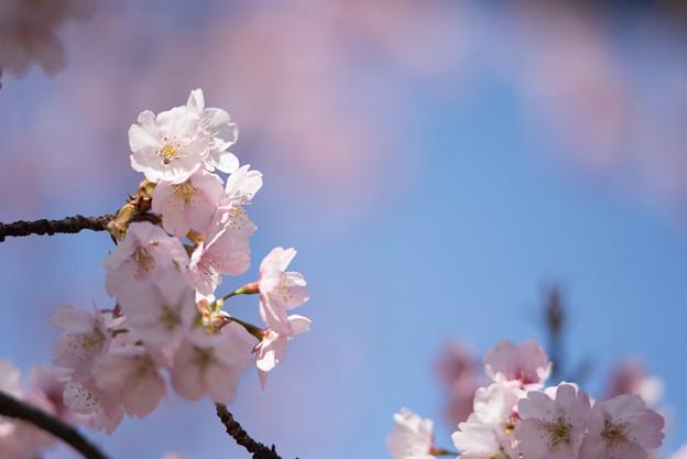 新宿御苑【大寒桜】3