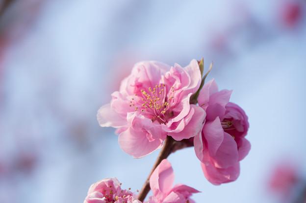 花桃の丘【ハナモモ】2