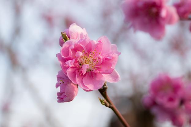 花桃の丘【ハナモモ】3