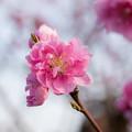 Photos: 花桃の丘【ハナモモ】3