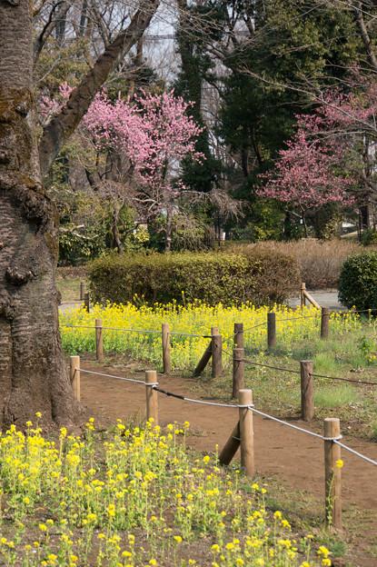 神代植物公園【ハナモモ:矢口と菜の花】2