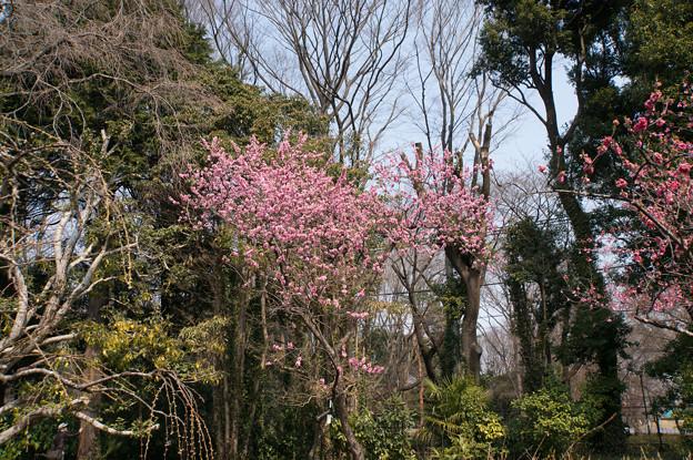 神代植物公園【ハナモモ:矢口】3