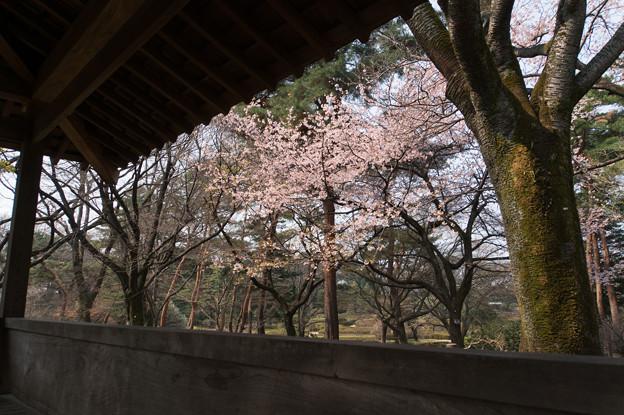 神代植物公園【桜:大寒桜】2