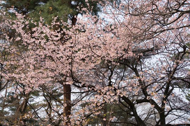 神代植物公園【桜:大寒桜】3