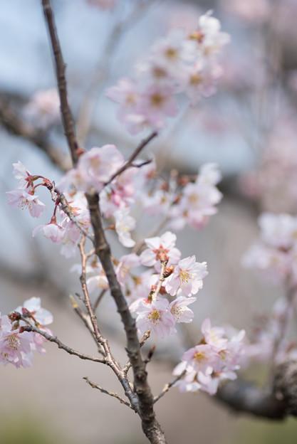 神代植物公園【桜:東海桜】2